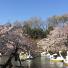 井の頭公園の桜も満開。スワンボートの渋滞をはじめて見ました!